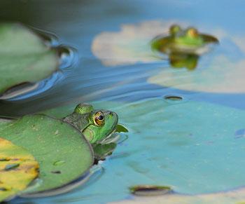 sapos na lagoa